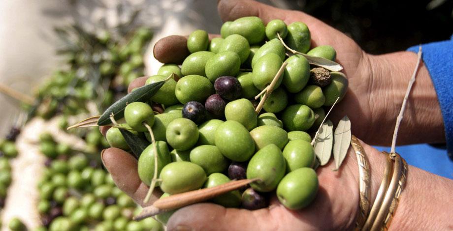 Olivenöl Allroundstar Für Haut Und Haare